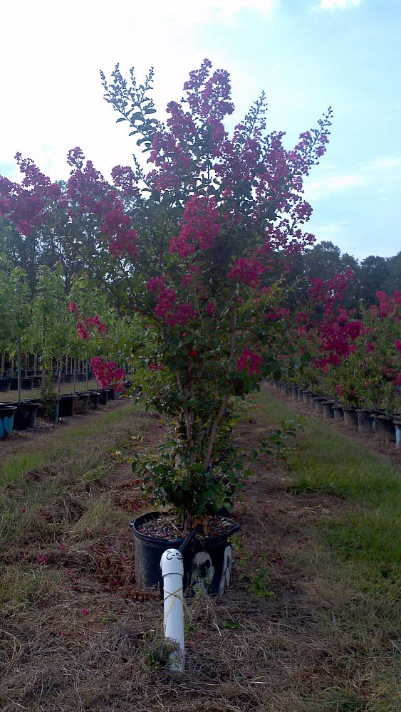 lagerstroemia-indica-country-red-crape-myrtle