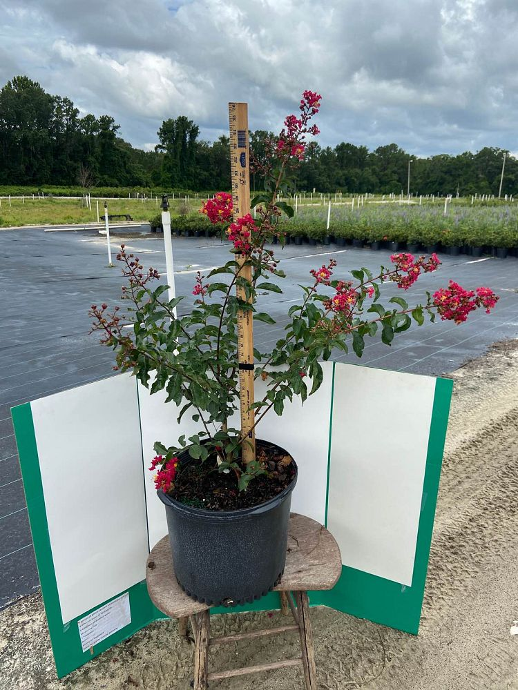 lagerstroemia-indica-herrmann-red-crape-myrtle