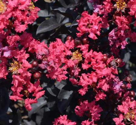 lagerstroemia-indica-piilag-v-crape-myrtle-midnight-magic