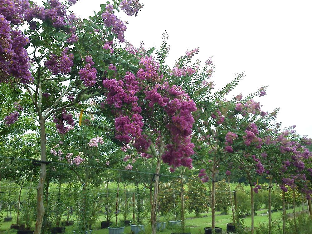 lagerstroemia-indica-piilag-viii-crape-myrtle-twilight-magic