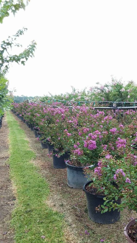 lagerstroemia-indica-royalty-crape-myrtle