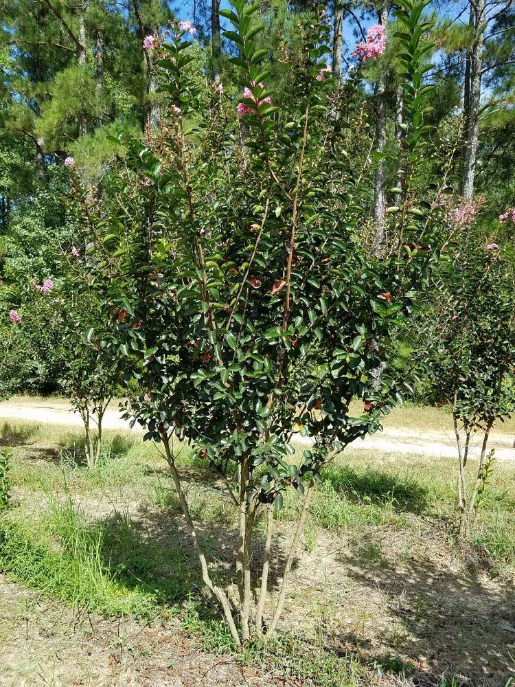 lagerstroemia-indica-sioux-crape-myrtle