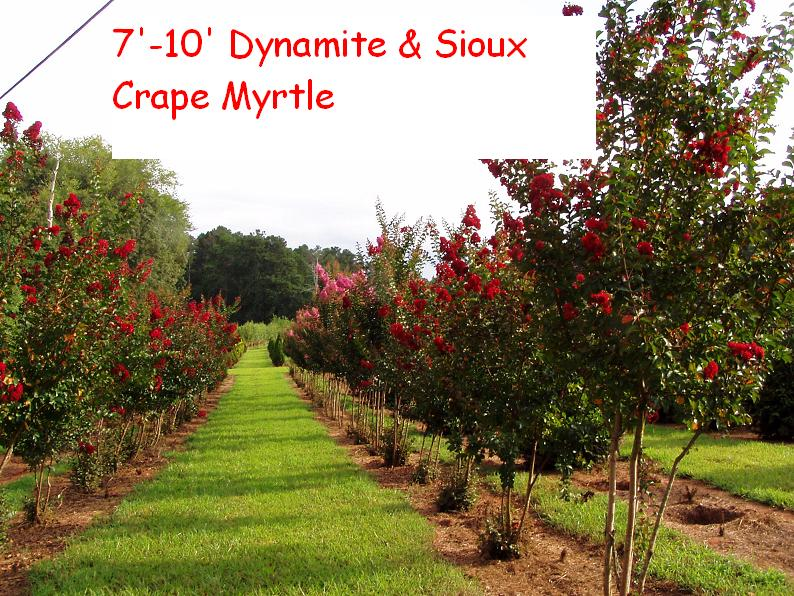 lagerstroemia-indica-whit-ii-crape-myrtle-dynamite
