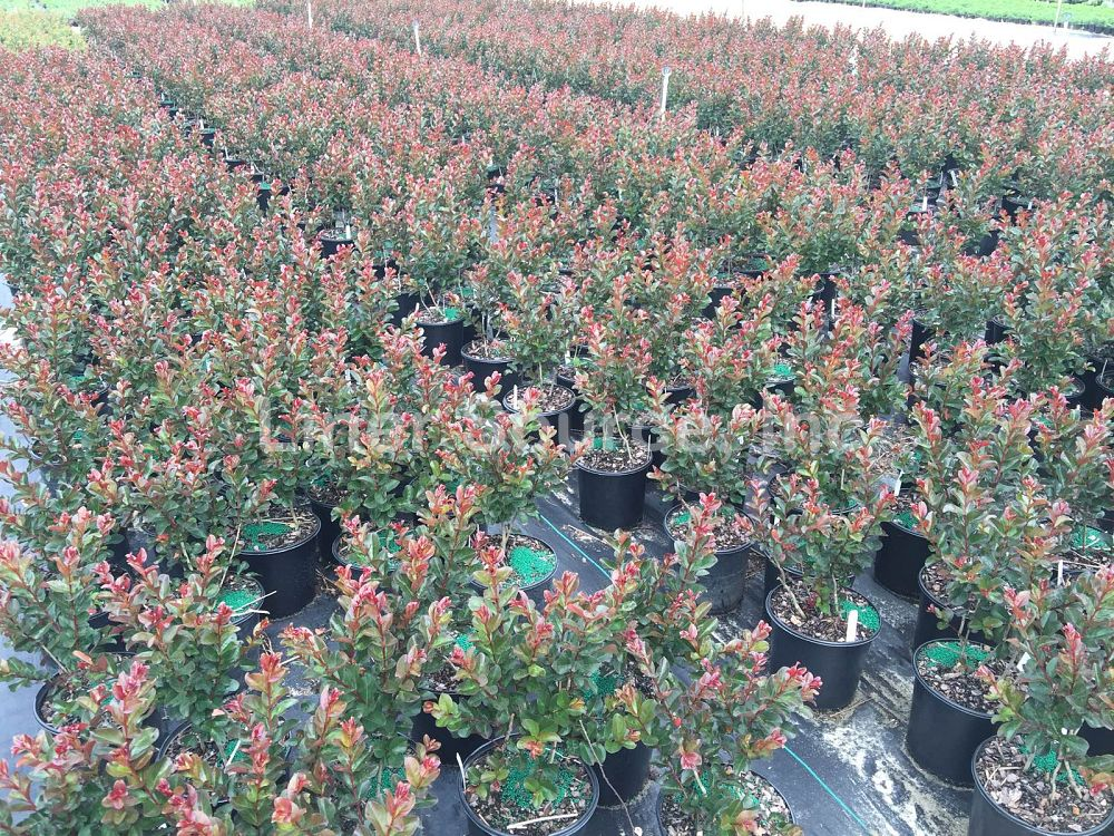 lagerstroemia-indica-whit-iii-crape-myrtle-pink-velour