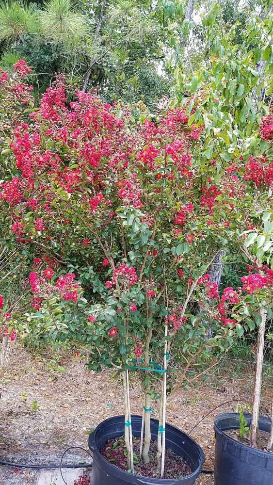 lagerstroemia-indica-whit-iv-crape-myrtle-red-rocket