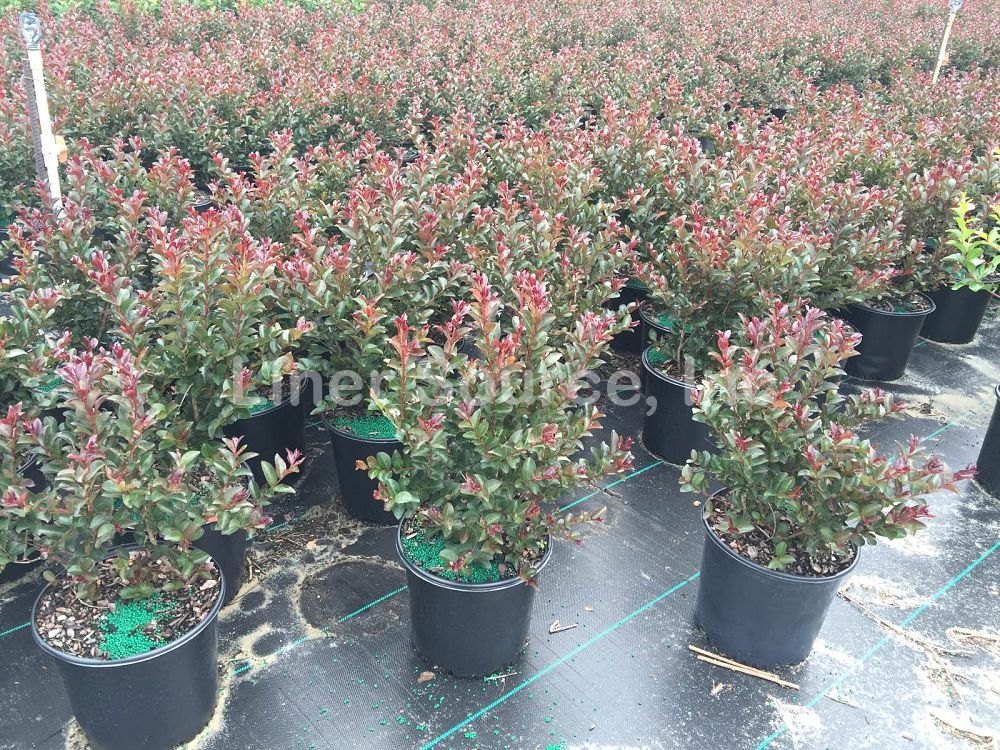 lagerstroemia-indica-whit-ix-crape-myrtle-double-feature