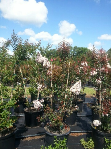 lagerstroemia-indica-whit-vi-crape-myrtle-burgundy-cotton