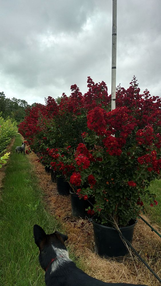 lagerstroemia-indica-whit-vii-crape-myrtle-siren-red