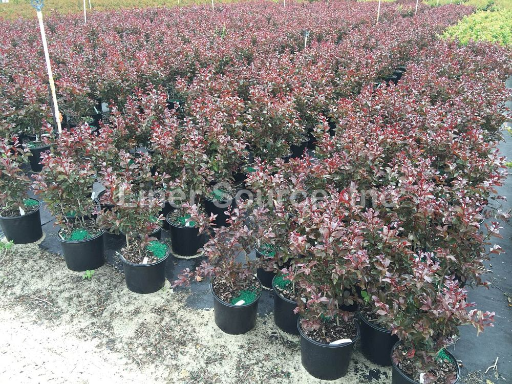 lagerstroemia-indica-whit-viii-crape-myrtle-rhapsody-in-pink