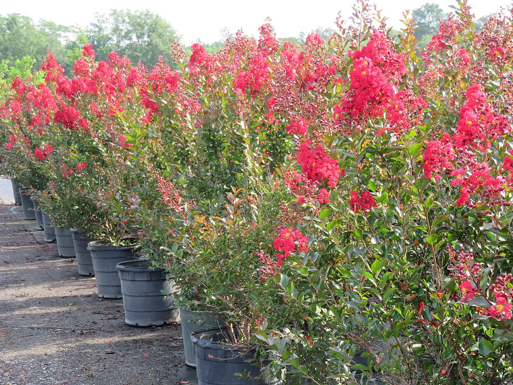 lagerstroemia-piilag-iii-crape-myrtle-red-rooster