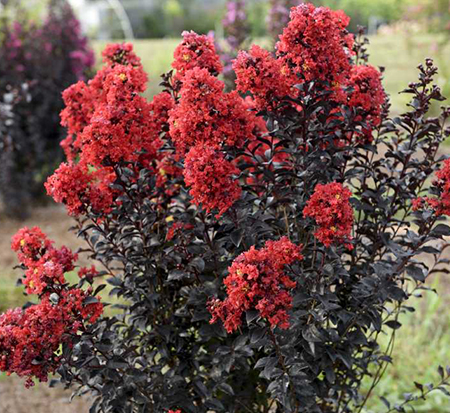 lagerstroemia-piilag-ix-sunset-magic-trade-crapemyrtle