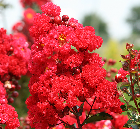 lagerstroemia-piilag-vii-crape-myrtle-ruffled-red-magic
