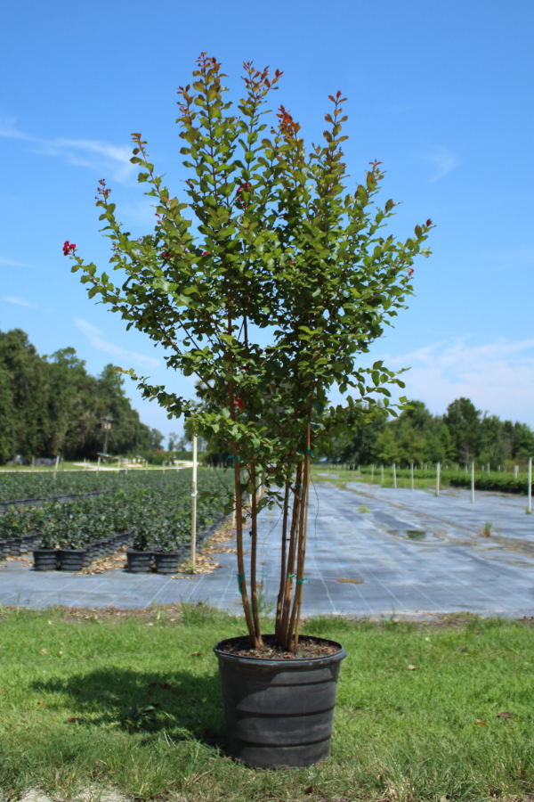 lagerstroemia-scarlet-crape-myrtle
