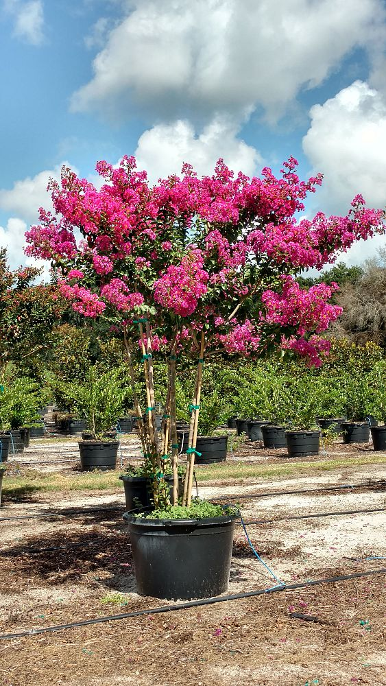 Bent Oak Tree Farm Plantant Com