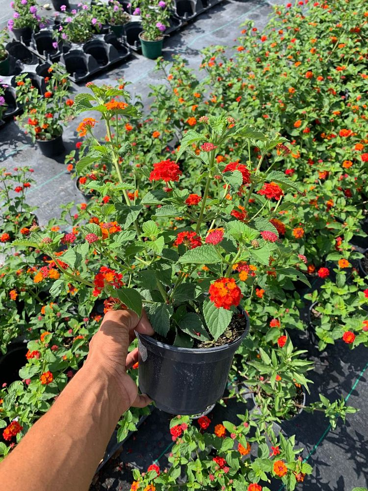 lantana-assorted-varieties