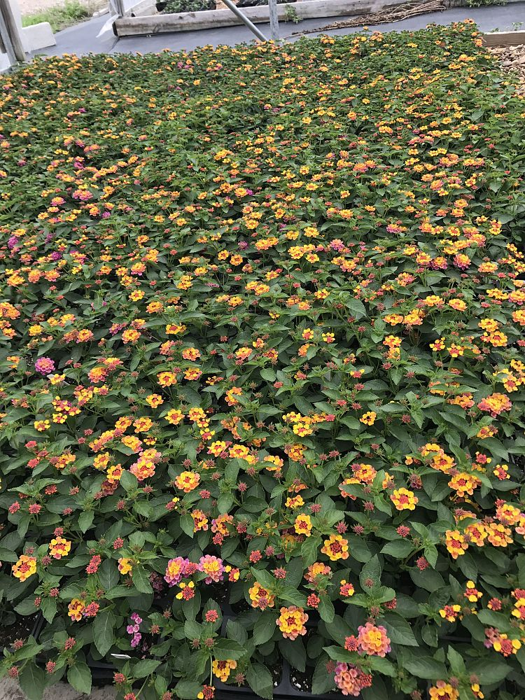 lantana-camara-lucky-sunrise-rose