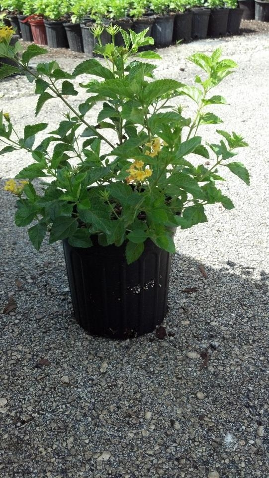 lantana-camara-yellow-common