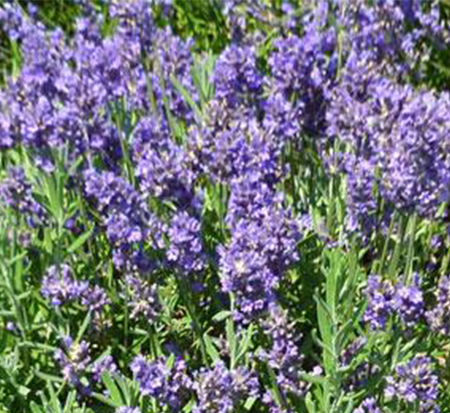 lavandula-angustifolia-super-blue-english-lavender