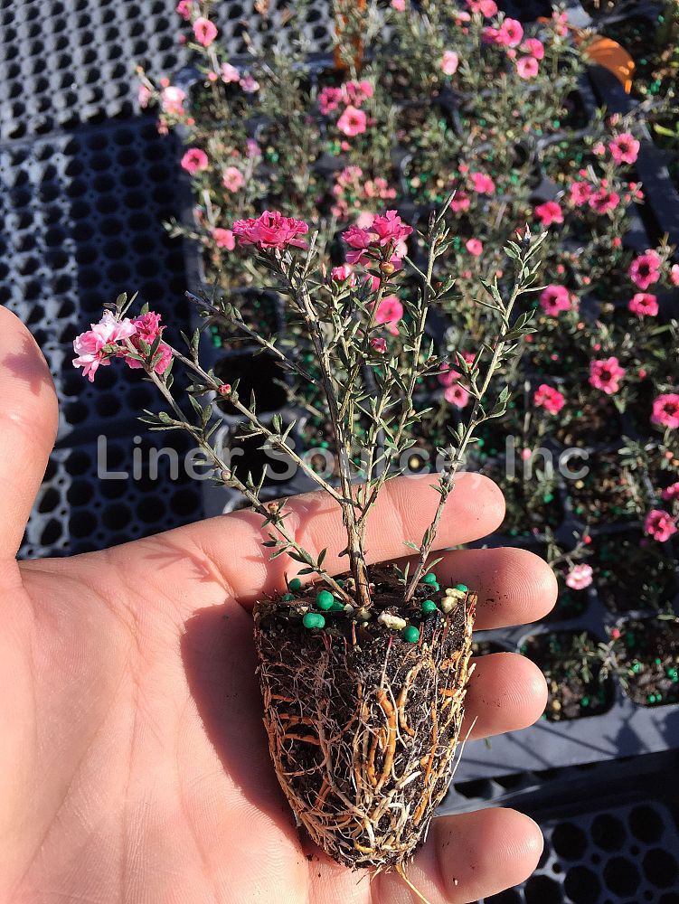 leptospermum-scoparium-new-zealand-tea-tree