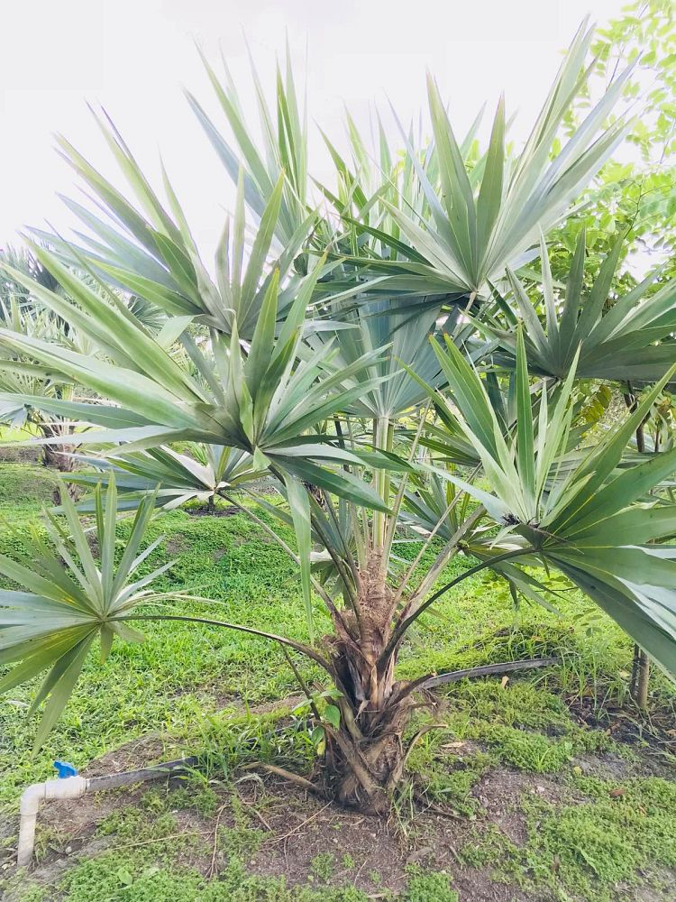 leucothrinax-morrisii-keys-thatch-palm