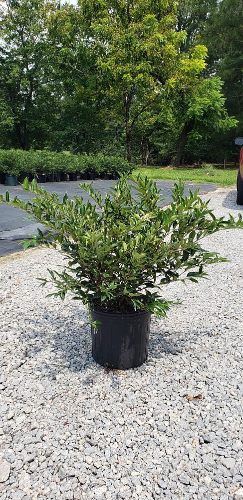 ligustrum-japonicum-east-bay-japanese-privet-weeping-wax-leaf-ligustrum