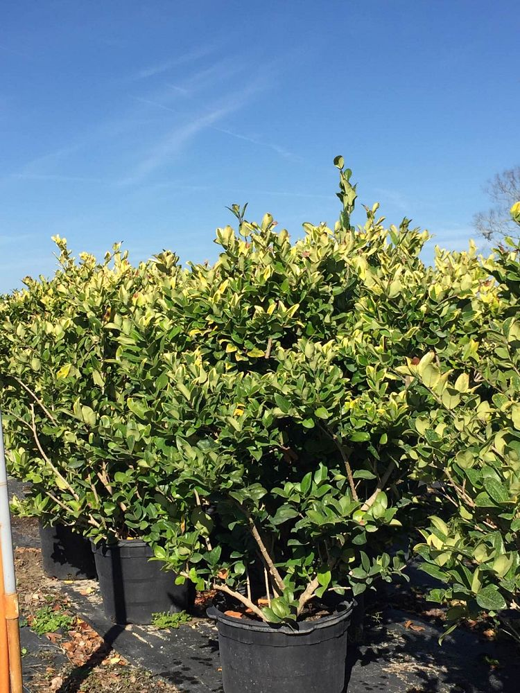 ligustrum-japonicum-gold-tip-japanese-privet-wax-leaf-ligustrum