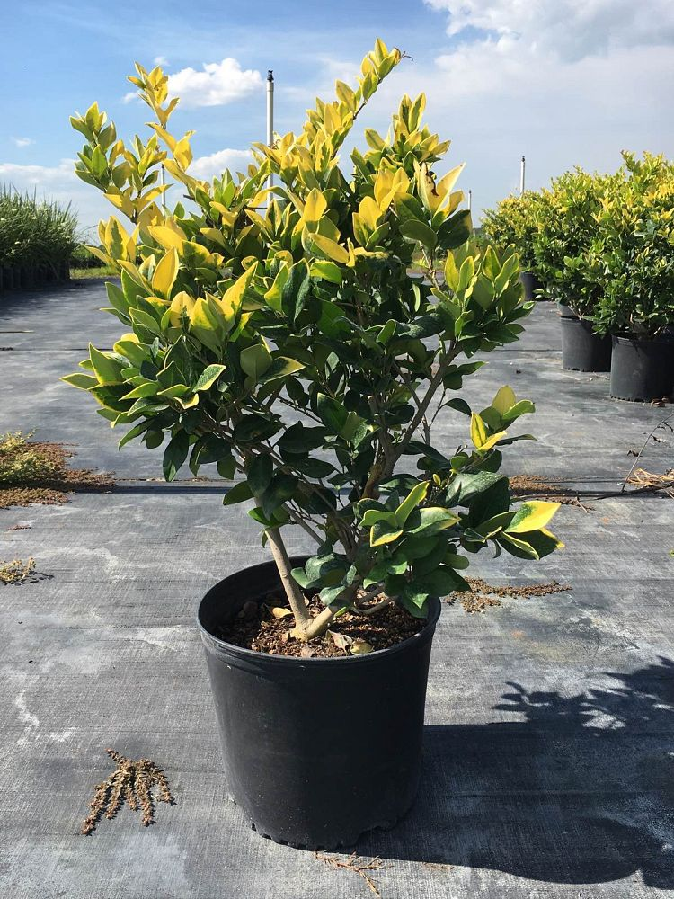 ligustrum-japonicum-howardi-japanese-privet-wax-leaf-ligustrum