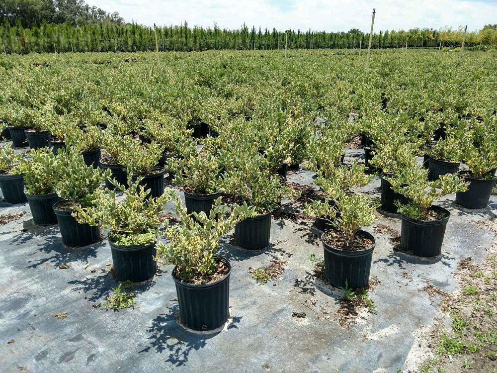 ligustrum-japonicum-jack-frost-japanese-privet-wax-leaf-ligustrum