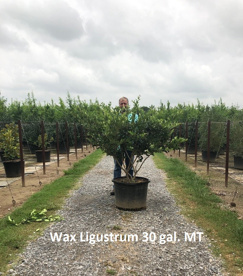 ligustrum-japonicum-japanese-privet-wax-leaf-ligustrum