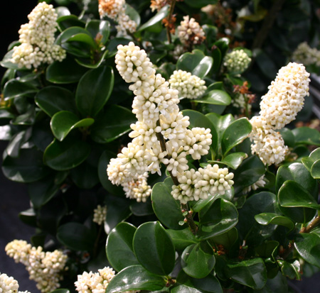 ligustrum-japonicum-rotundifolium-japanese-privet-coriaceum-wax-leaf-ligustrum-curlyleaf-privet