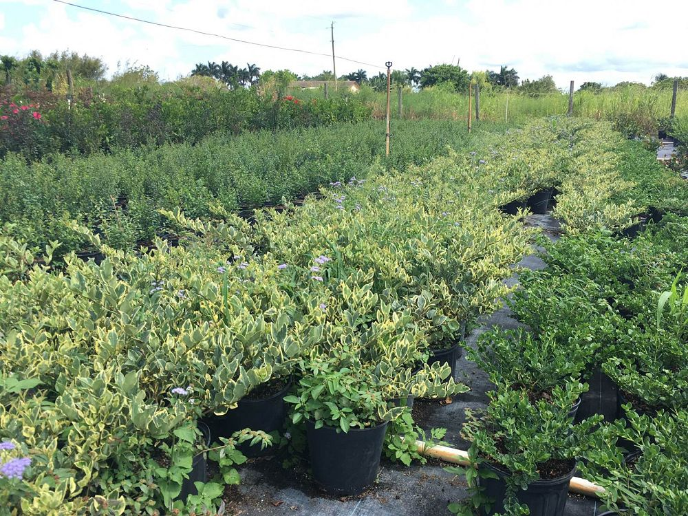 ligustrum-japonicum-variegatum-japanese-privet-wax-leaf-ligustrum