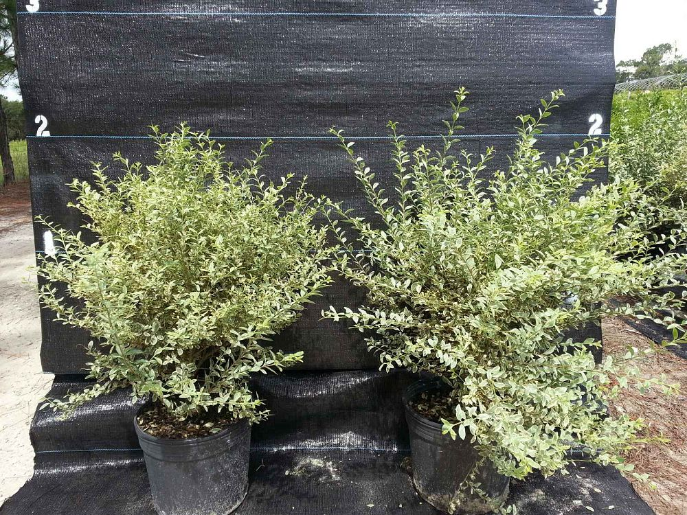 Salmon S Wholesale Nursery Plantant Com