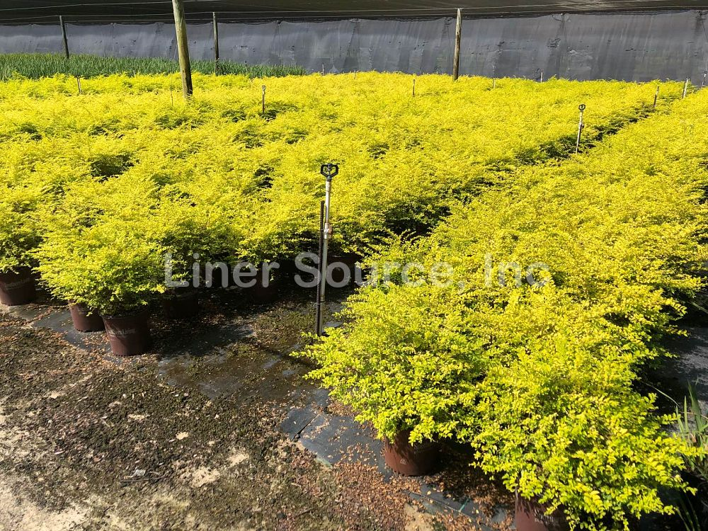 ligustrum-sinense-sunshine-chinese-privet