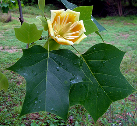 liriodendron-tulipifera-jfs-oz-tulip-poplar-tree-emerald-city-yellow-poplar