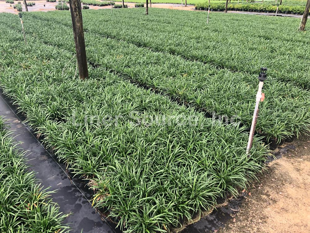 liriope-muscari-big-blue-lilyturf