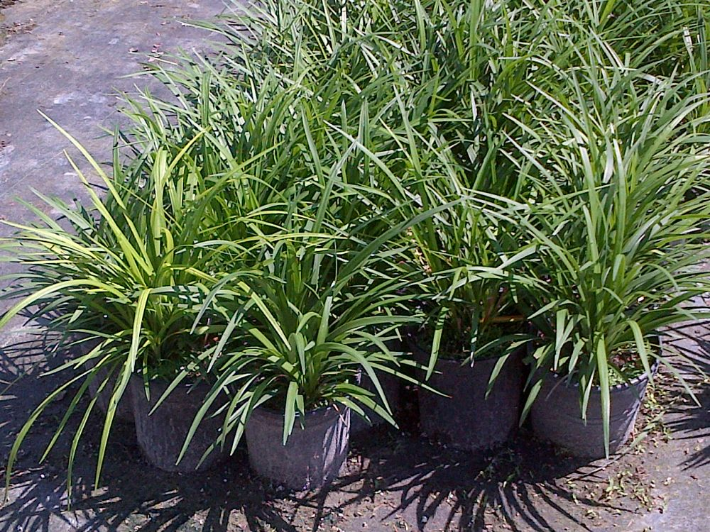 liriope-muscari-evergreen-giant-lilyturf