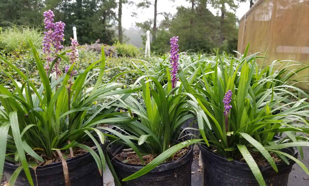 liriope-muscari-royal-purple-lilyturf