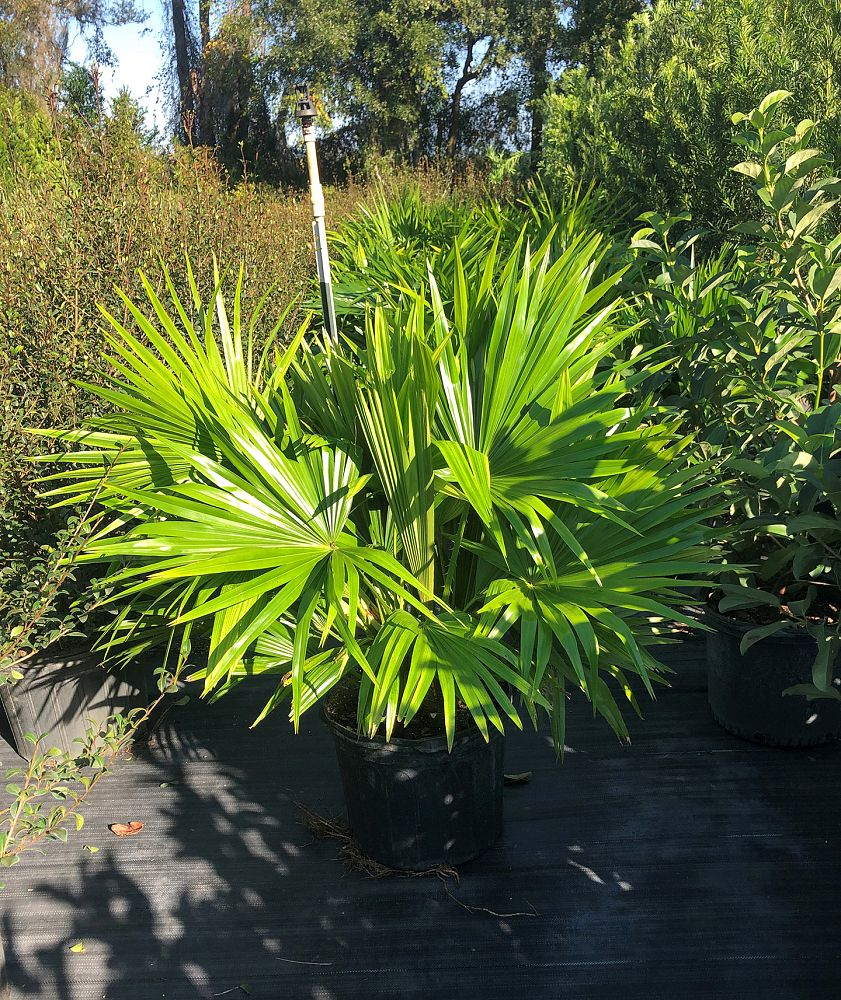 livistona-chinensis-chinese-fan-palm