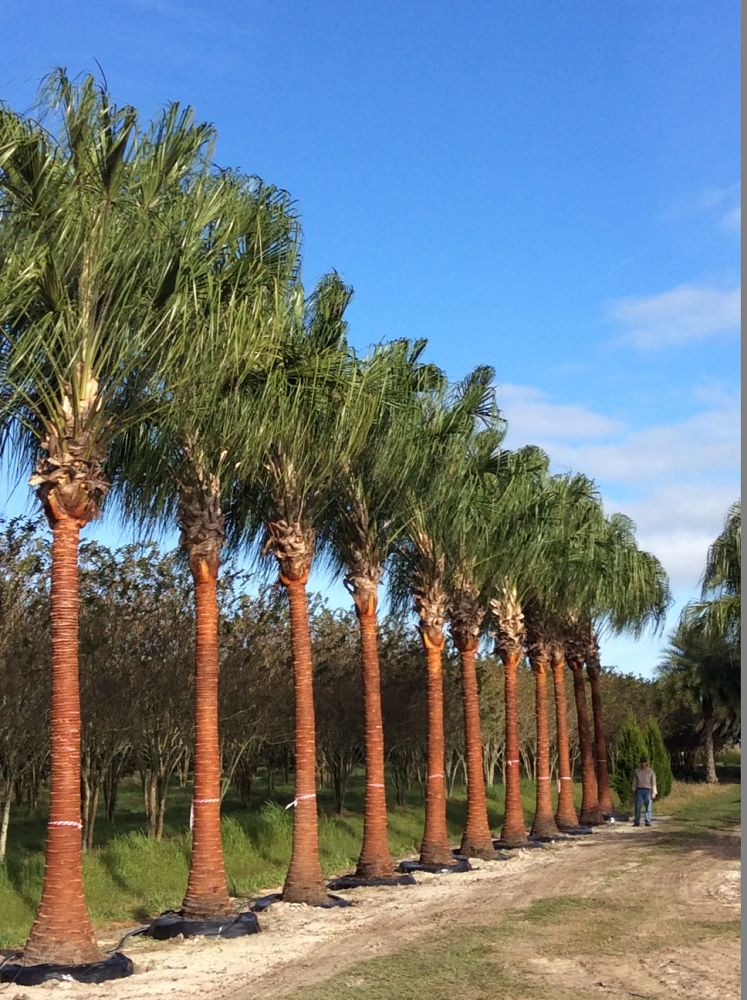 livistona-decora-ribbon-fan-palm-weeping-cabbage-palm