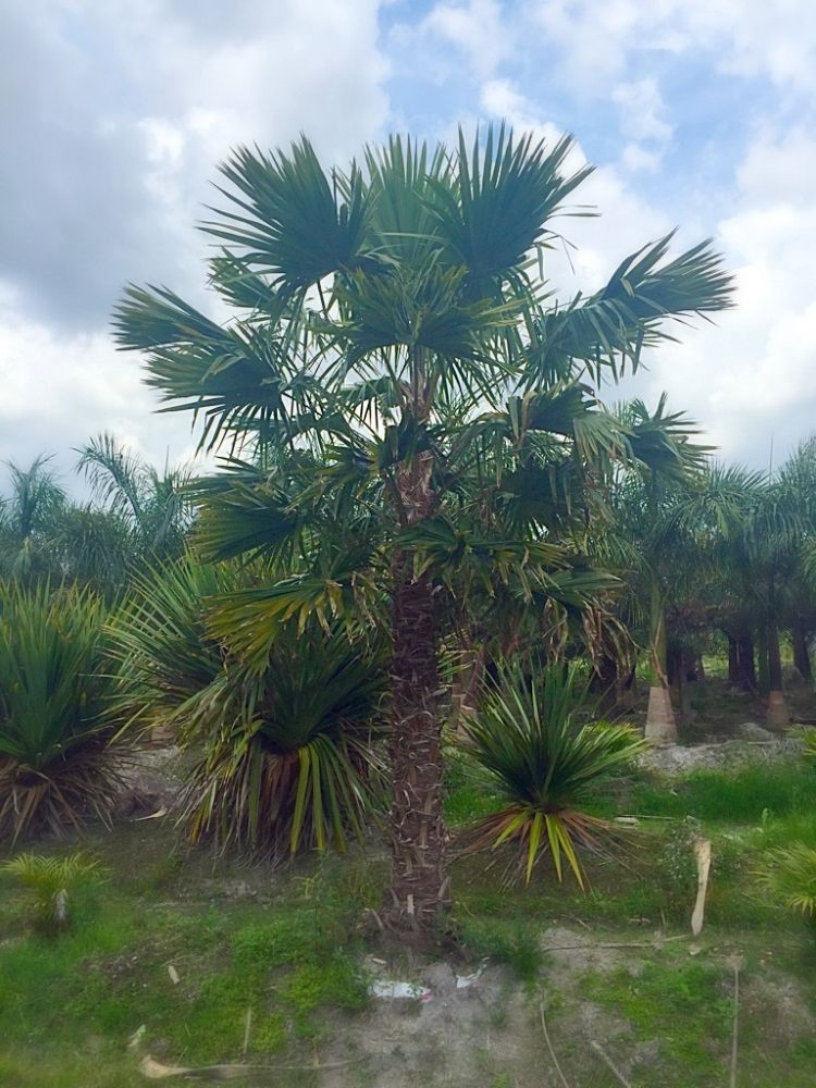 livistona-rotundifolia-roundleaf-fan-palm-serdang-footstool-palm
