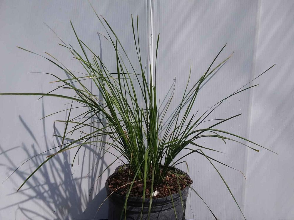 lomandra-longifolia-breeze-spiny-head-mat-rush-basket-grass