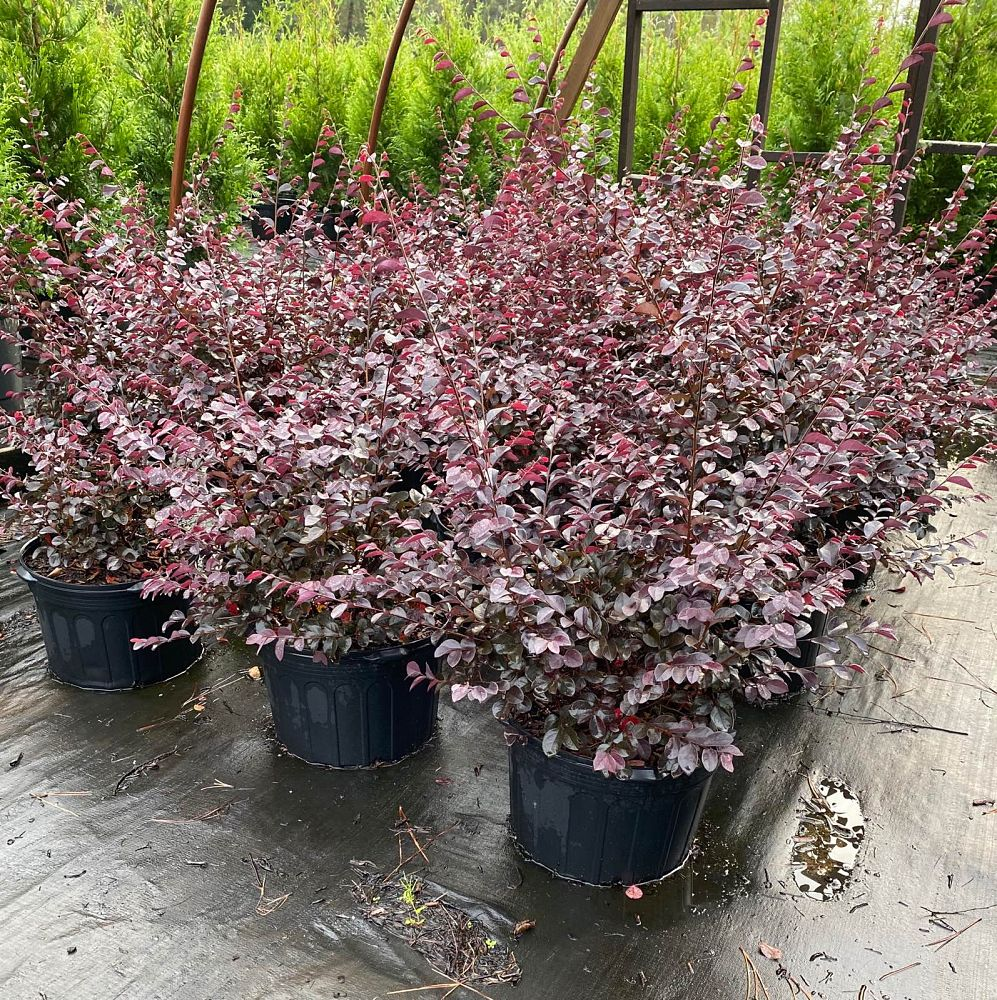 loropetalum-chinense-dark-fire-chinese-fringe-flower