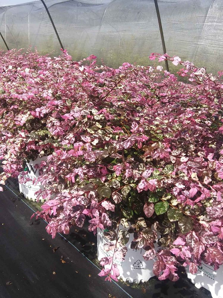 loropetalum-chinense-irodori-chinese-fringe-flower-jazz-hands-variegata