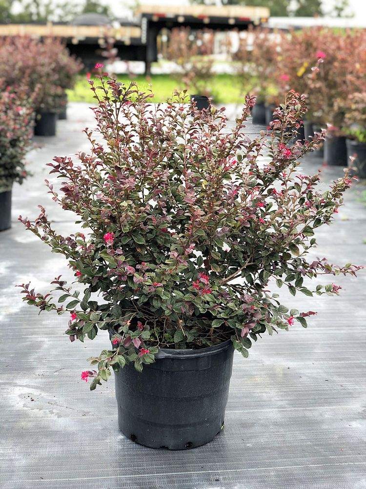loropetalum-chinense-red-chocolate-chinese-fringe-flower