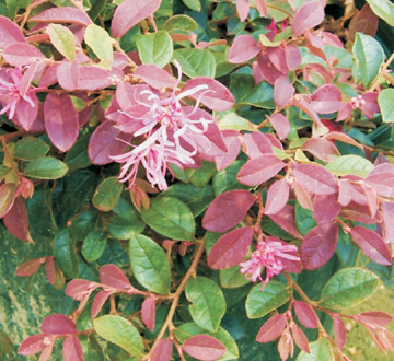 loropetalum-chinense-rubrum-blush-razzleberry