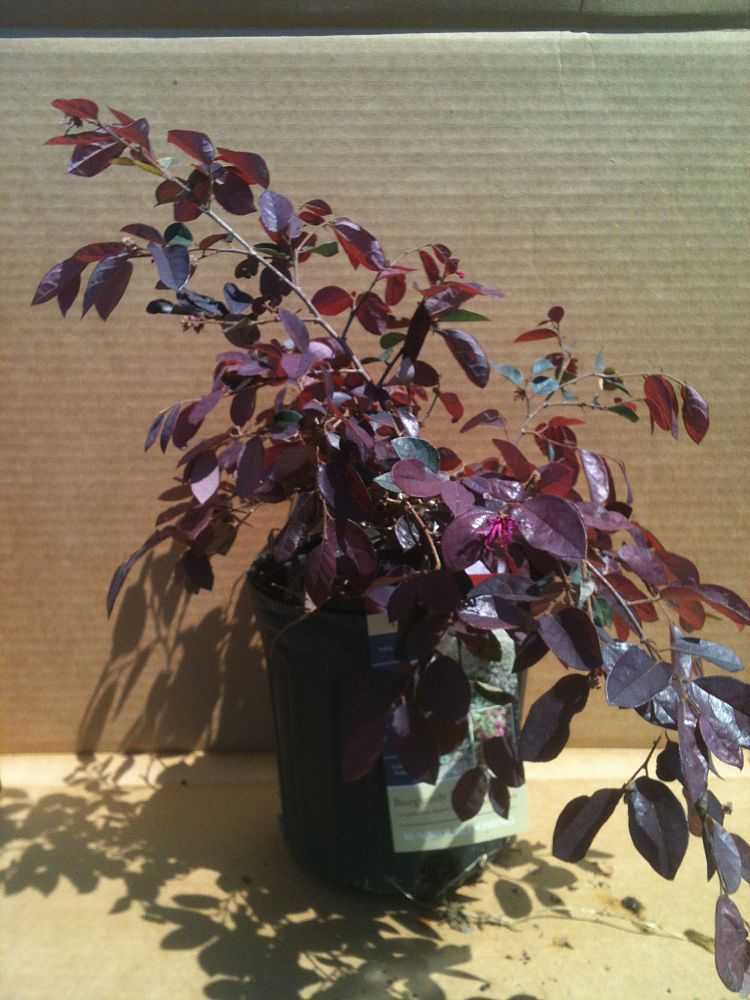 loropetalum-chinense-rubrum-burgundy-razzleberry