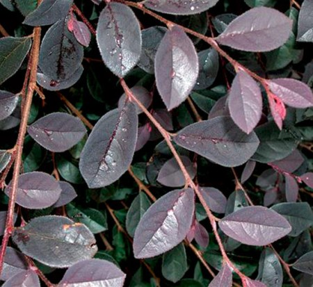 loropetalum-chinense-rubrum-carolina-midnight-razzleberry