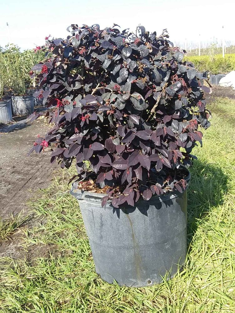 loropetalum-chinense-rubrum-chang-nian-hong-chinese-fringe-flower-ever-red