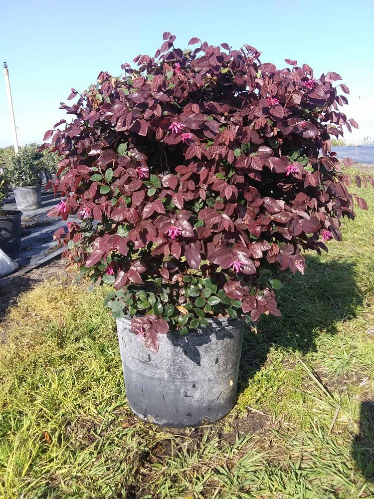 loropetalum-chinense-rubrum-plum-delight-razzleberry
