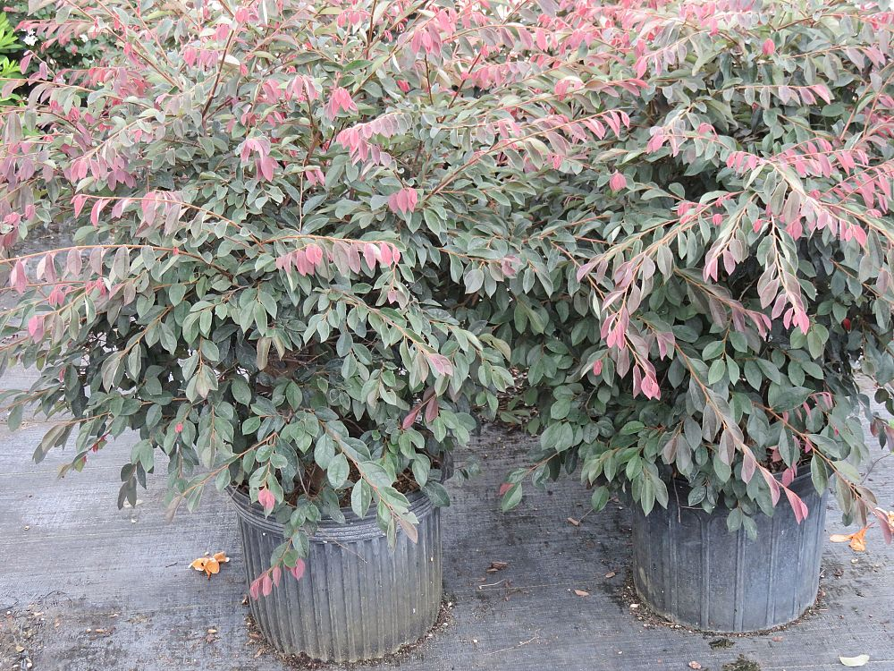loropetalum-chinense-rubrum-ruby-chinese-fringe-flower
